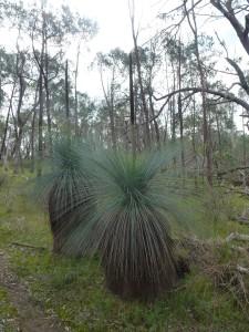 Xanthorrhoea glauca subsp. angustifolia