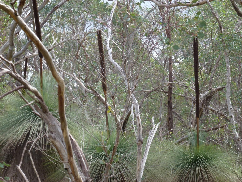 Xanthorrhoea glauca subsp. angustifolia group