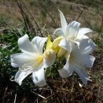 amaryllis belladonna hathor