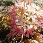 ammocharis coranica x cybistetes longifolia2