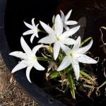 crinum paludosum