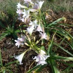 crinum variable