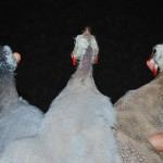 difference in guinea fowl