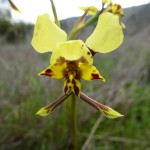 duris pardina leopard orchid
