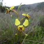 duris pardina leopard orchid stem