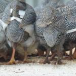 guinea fowl 1