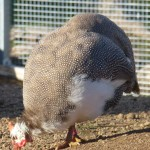 guinea fowl chocolate 1