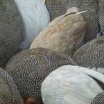 guinea fowl eating