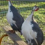 guinea fowl pied2