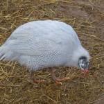 lavender guinea fowl