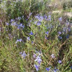 stypandra glauca Nodding Blue Lily