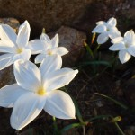 zephyranthes species