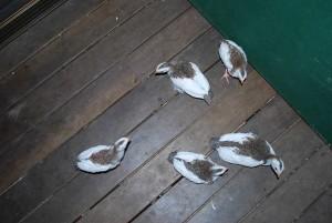 pied guinea fowl keets